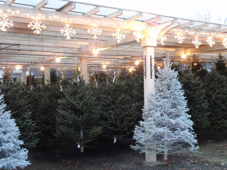 holiday trees for sale at Bremec Garden Center