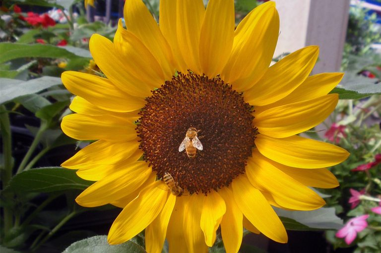 bright yellow flower with honeybee at Bremec on the Heights